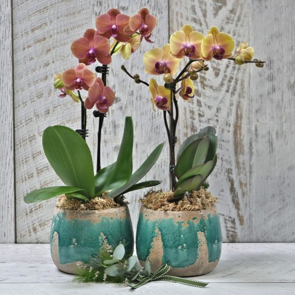 Potted Orchid Large